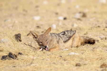 omnivores: Black-Backed Jackal chewing on a bone