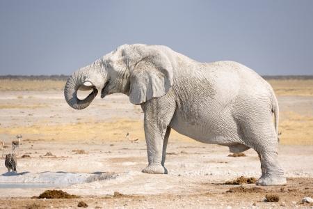 waterhole: African elephant drinking at waterhole  Stock Photo