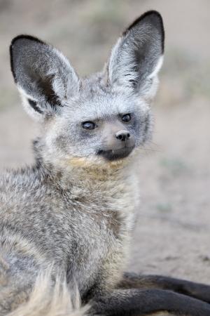 eared: Portrait of a Bat Eared Fox  Stock Photo