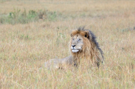 ly: Lion lying down at Savanne  Stock Photo