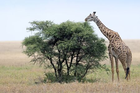 Giraffe feeding from tree  photo