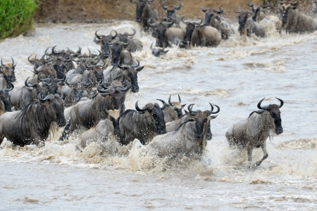 wildebeest: Wildebeest crossing the Mara river  Stock Photo