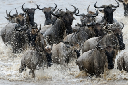 ungulate: Wildebeest crossing the Mara river  Stock Photo