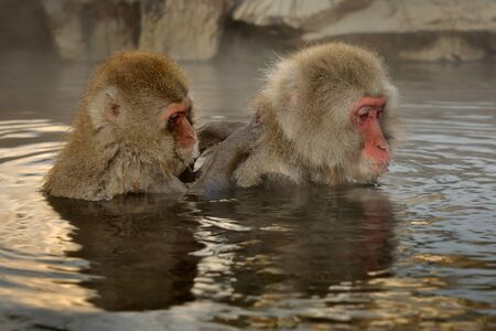 water hottub: Two Japanese Macaque grooming in hot spring  Stock Photo