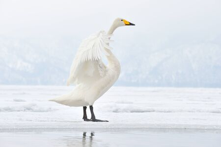 Whooper Swan flapping his wings  photo