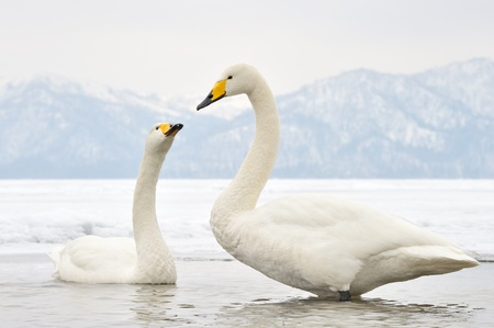 courtship: Two Whooper Swans at courtship  Stock Photo