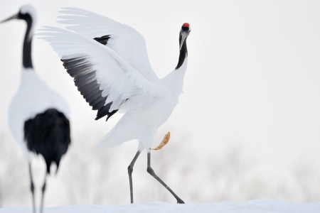 playful behaviour: Red-crowned Crane playing with leave  Stock Photo