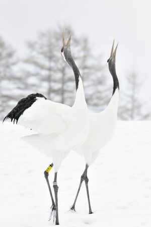 courtship: Two Red-crowned Cranes display courtship
