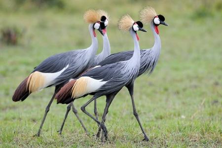 Four Grey Crowned-Cranes in courtship dancing