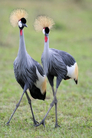mating colors: Two Grey Crowned Cranes at courtship  Stock Photo