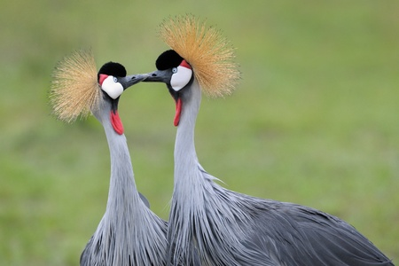Two Grey Crowned Cranes at courtship  photo