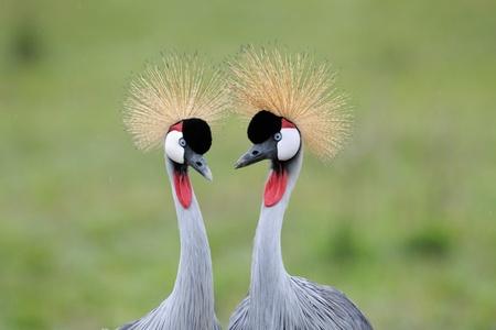 courtship: Two Grey Crowned-Cranes