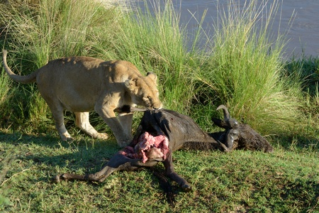 ly: Lion with a killed Wildebeest  Stock Photo
