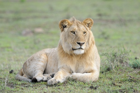 ly: Young male Lion lying in grass  Stock Photo