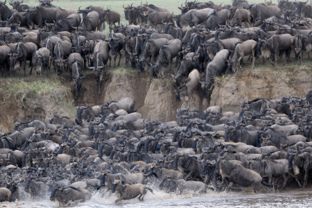 wiped out: Wildebeest crossing the Mara river  Stock Photo