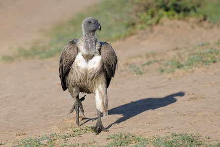 African White-backed Vulture running on the ground  photo
