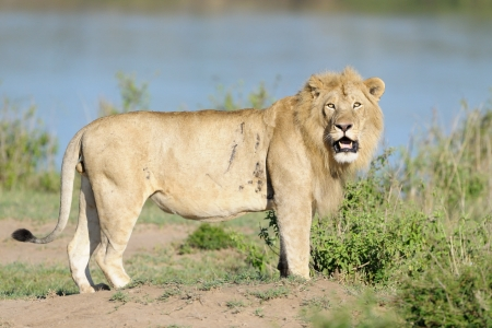 ly: Male Lion standing on river edge