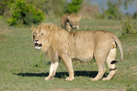 seperated: Male Lion with female in background