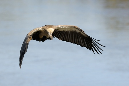 mara: African White-backed Vulture flying
