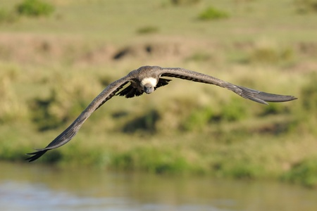 accipitridae: African White-backed Vulture flying