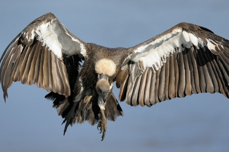 African White-backed Vulture flying  photo