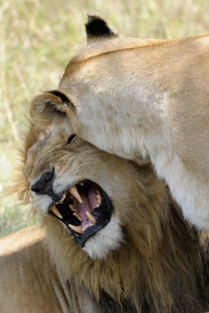 ly: Lion pair mating
