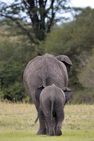 Elephant mother with young wakling away