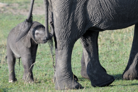 Elephant young behind mother touching tale  photo