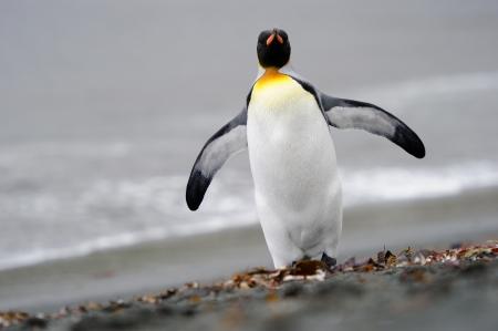 king penguins: King Penguin walking on the beach.