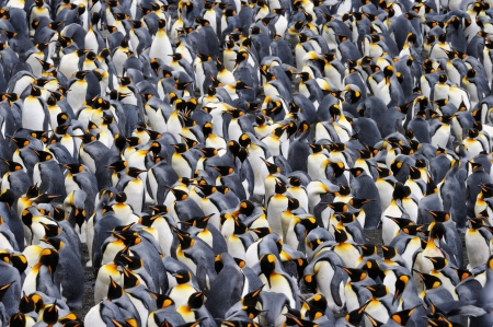 penguins on beach: King penguin colony.