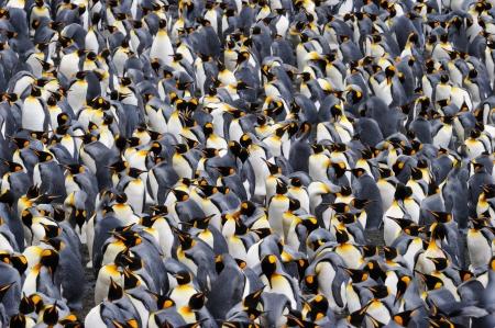 Rey colonia de pingüinos. Foto de archivo