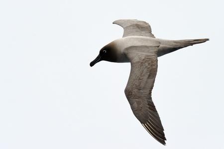 aquatic bird: Light-mantled sooty albatross flying.