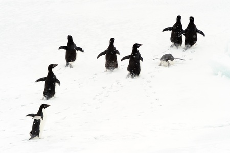 penguin colony: Adelie penguins running on ice.