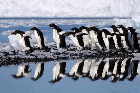 penguin colony: Group Adelie penguins going to the water.
