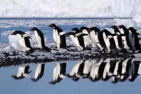 pinguins: Groupe manchots Ad�lie va � l'eau.