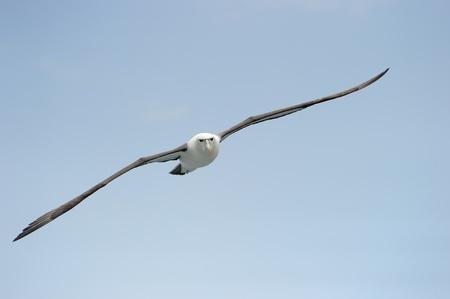 aquatic bird: Shy Albatross flying with blue sky