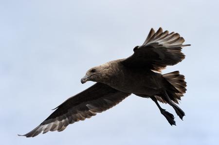 aves: Brown Skua flying against blue sky