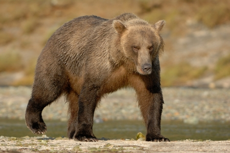 Grizzly Bear walking on beach  photo