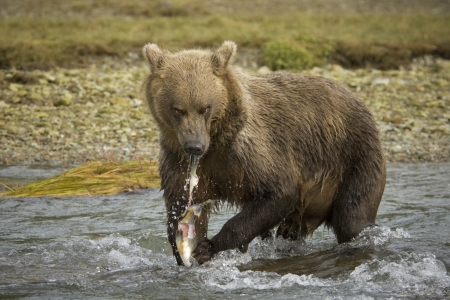 Grizzly Bear eating a caught salmon  Stock Photo