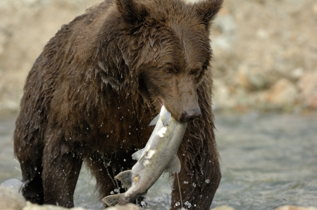 Grizzly Bear catching salmon  Stock Photo