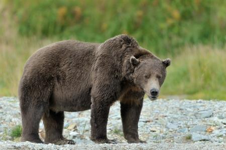 oso pardo: Grizzly Bear de pie en el borde del r�o