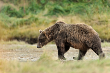 grizzly bear: Grizzly Bear walking through grass