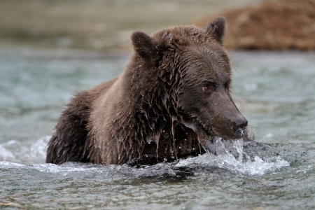 Grizzly  Bear catching Salmon in Rapids photo