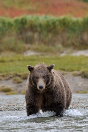 Grizzly Bear in river catching salmon  photo