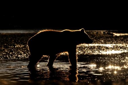 grizzly: Grizzly Bear en rivière au coucher du soleil