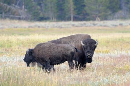 Bull Buffalo sniffing  cow at Yellowstone photo