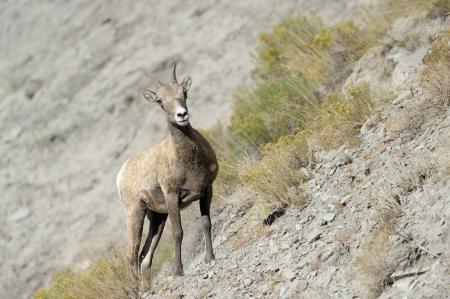 bighorn sheep: Bighorn Sheep on rocky slope