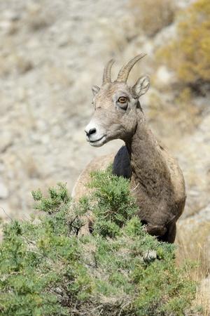 bighorn sheep: Bighorn Sheep sul pendio roccioso Archivio Fotografico