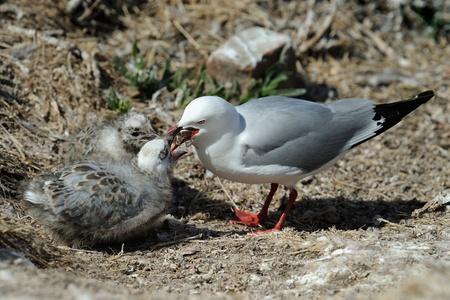 Red-billed Gull feeding two chicks  photo