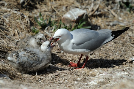 Red-billed Gull feeding two chicks  photo